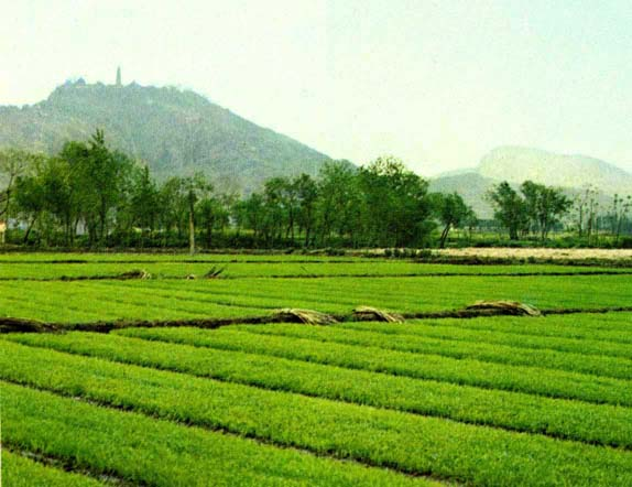 rice_paddy